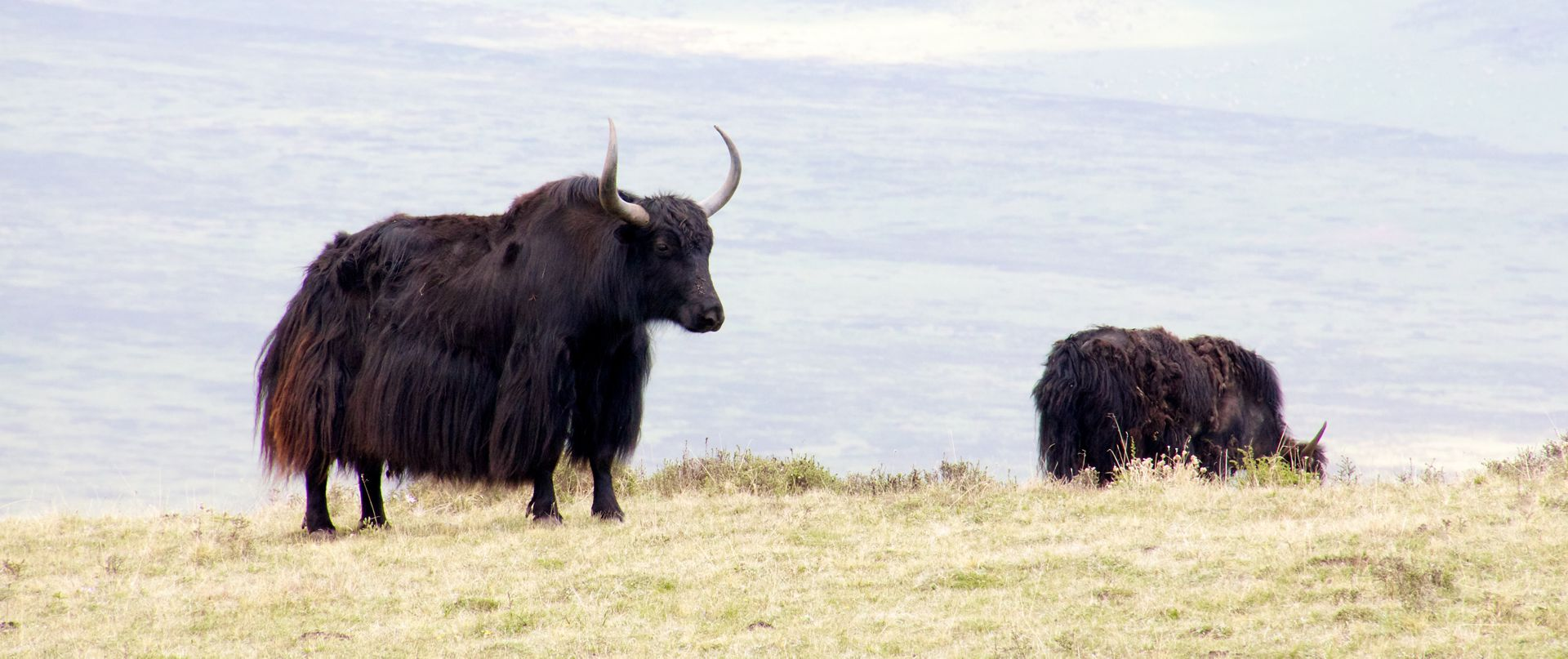 Yaks on the Tibetan plain